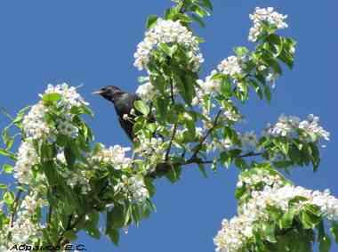 Скворец обыкновенный прилетел и весна