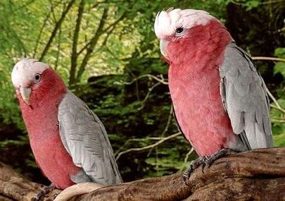 розовый какаду или гала (дурень)