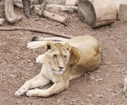 Лев виноват в том, что он не человек