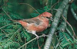 клест особенная птица
