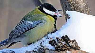 зима синица ест снег