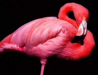 Фламинго. Почему они розовые?