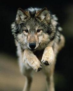 Волк и �еловек