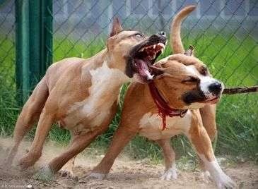 бойцовские фото собаки