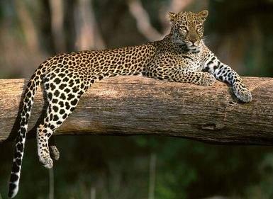 Интересные факты о диких кошках- леопард