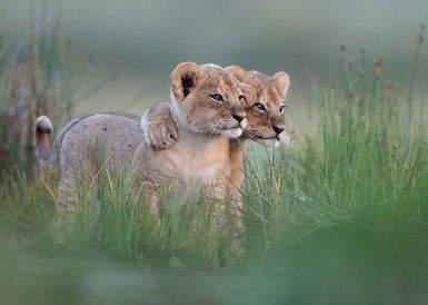 Интересные факты о диких кошках- львята