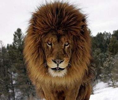 Интересные факты о диких кошках- лев