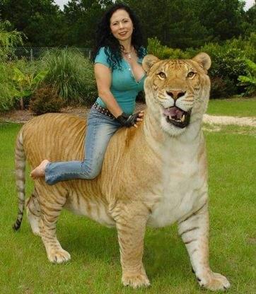 Интересные факты о диких кошках- лигр