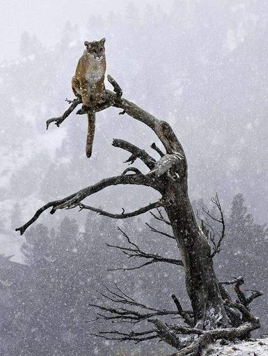 Интересные факты о диких кошках- пума
