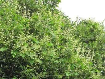 Новые виды растений России. Эхиноцистис