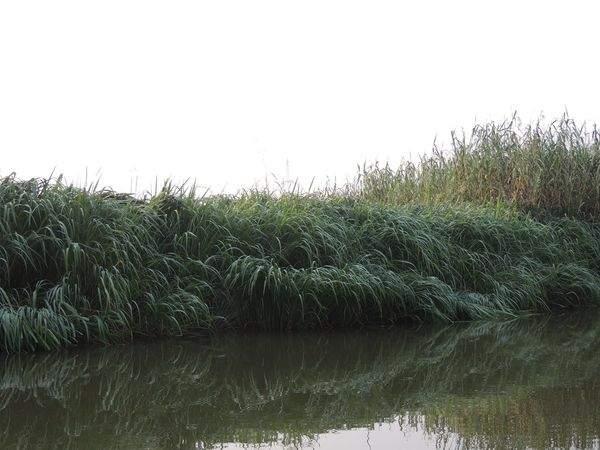 Растения интродуценты Астраханского заповедника- зизания