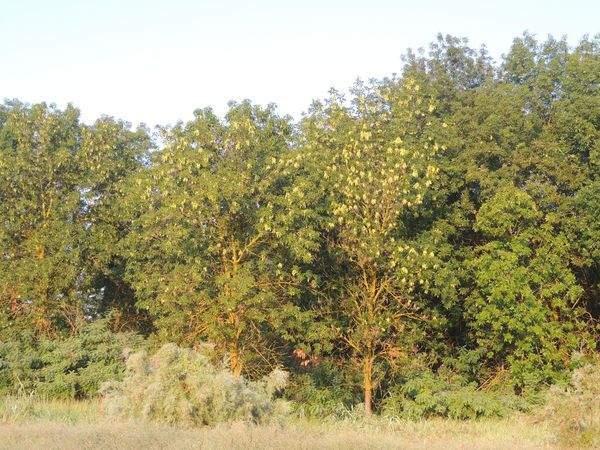 Растения интродуценты Астраханского заповедника. Ясень американский