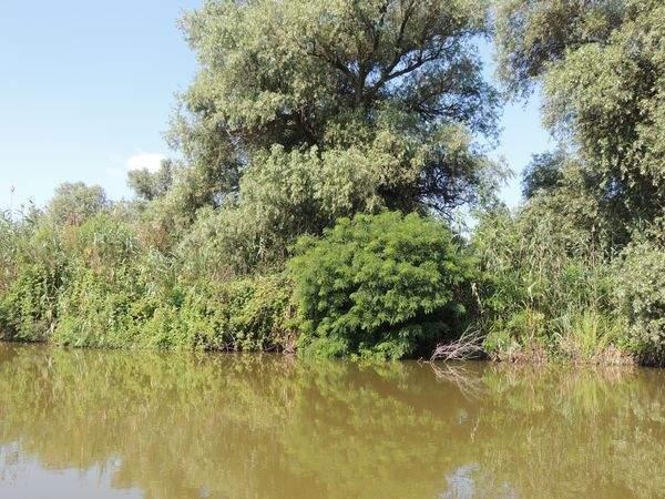 Растения интродуценты Астраханского заповедника: куст амофы на фоне ветлы