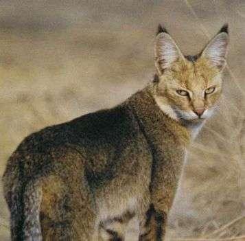 Интересные факты о камышовом коте