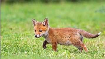 Интересные факты о лисах