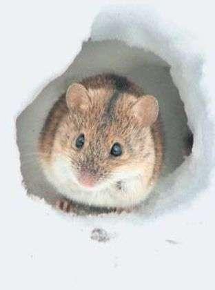 мышка на снегу