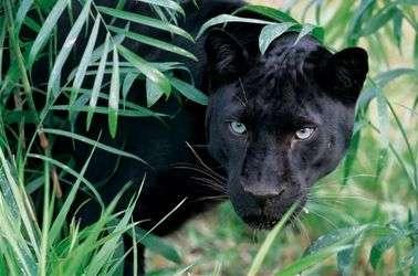 интересные факты о пантере