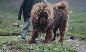 собака для охраны - тибетский мастиф
