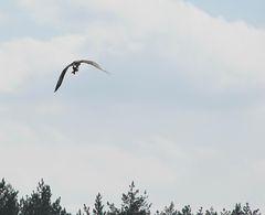 Птица скопа — опытный рыбак