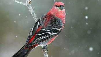 Несколько заблуждений о птицах