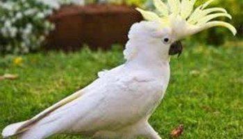 Домашний питомец — попугай какаду